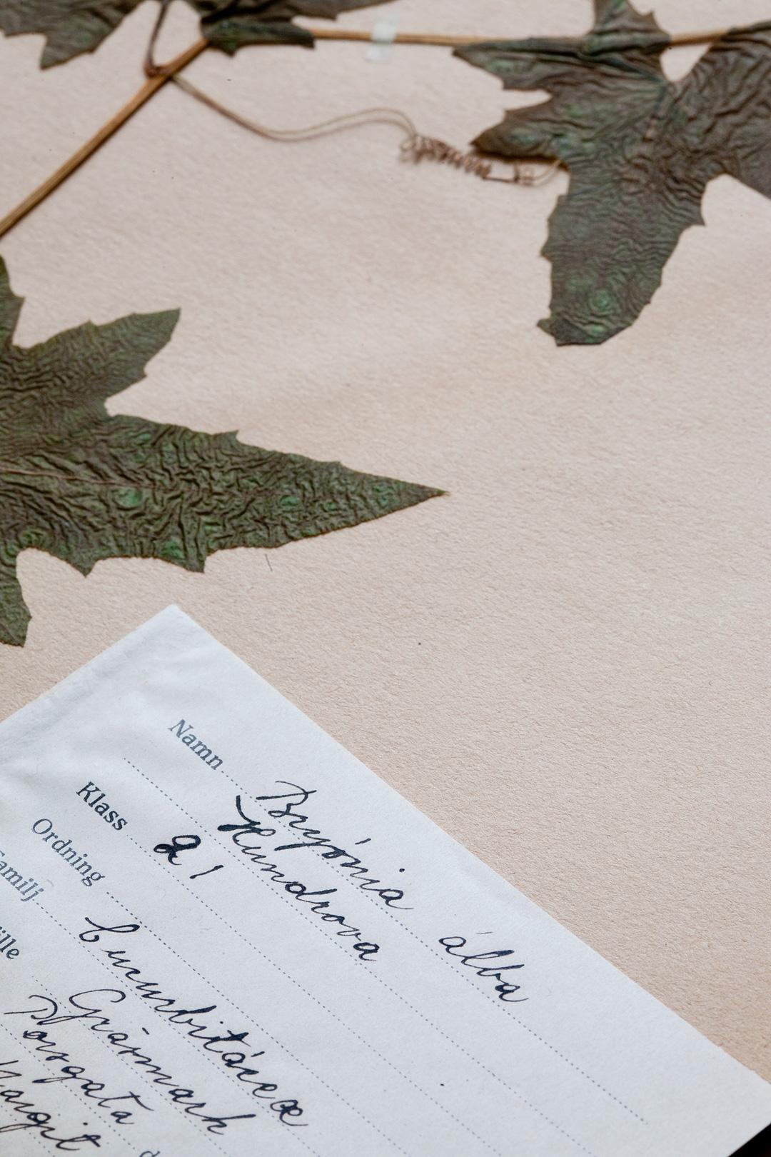 Herbarium2©Anna-Lefvert