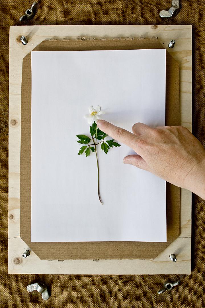 Herbarium9©Anna-Lefvert