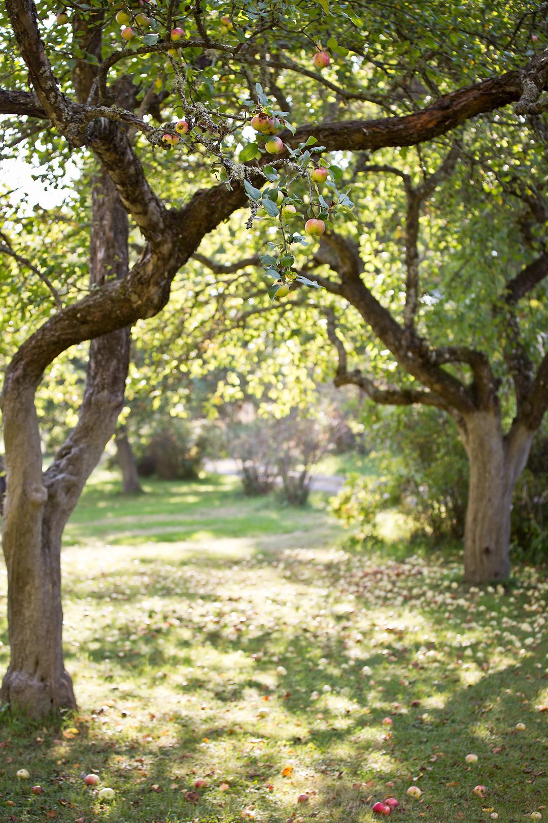 Appletree©Anna-Lefvert