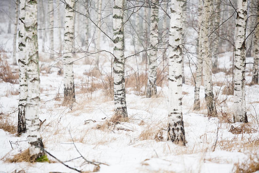 Björk1©Anna-Lefvert